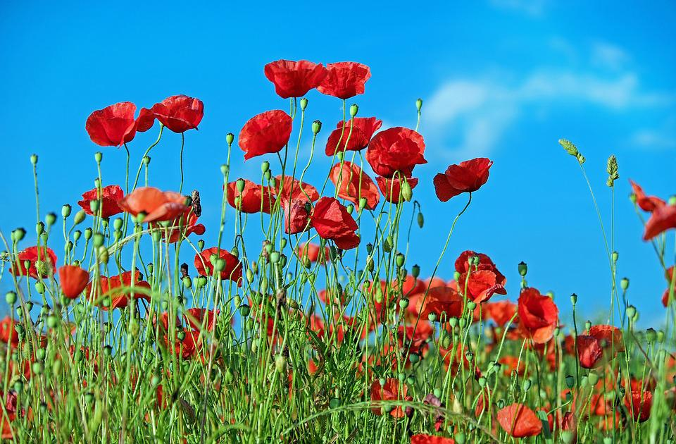 Poppy, Flower, Klatschmohn, Blossom, Bloom, Red