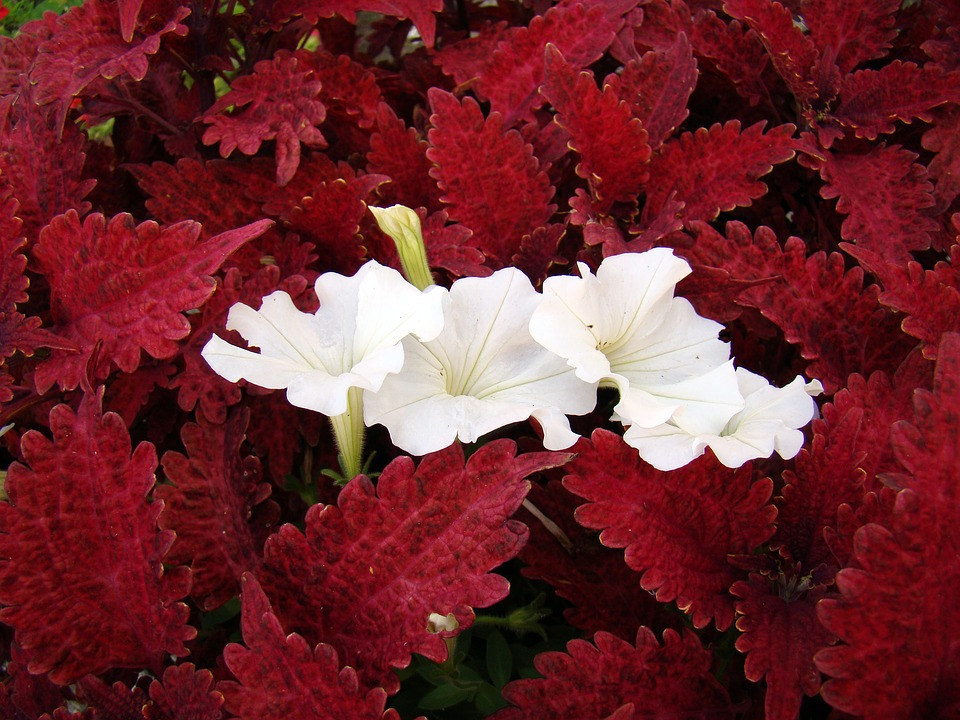 Free photo flower red leaves flowers foliage white flowers max pixel flower flowers white flowers red leaves foliage mightylinksfo