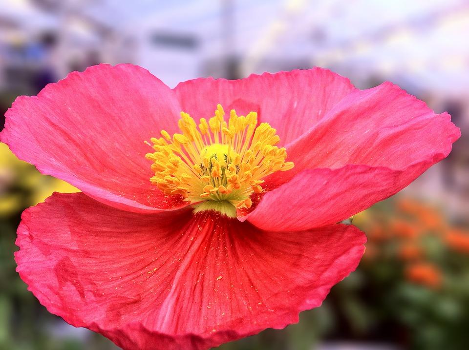 Poppy, Flower, Red, Garden, Spring, Petals, Macro