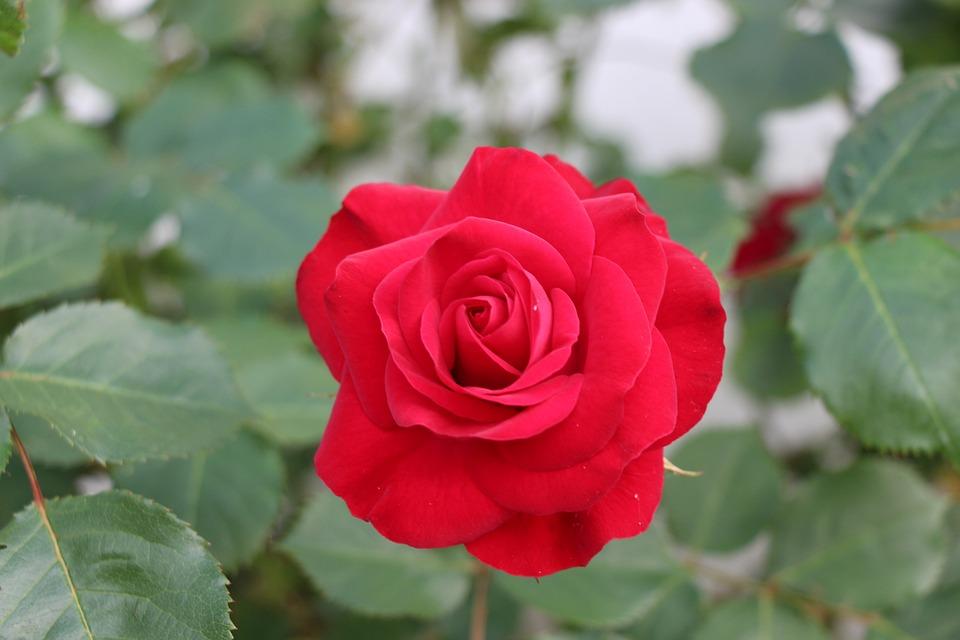 Flower, Pink, Red