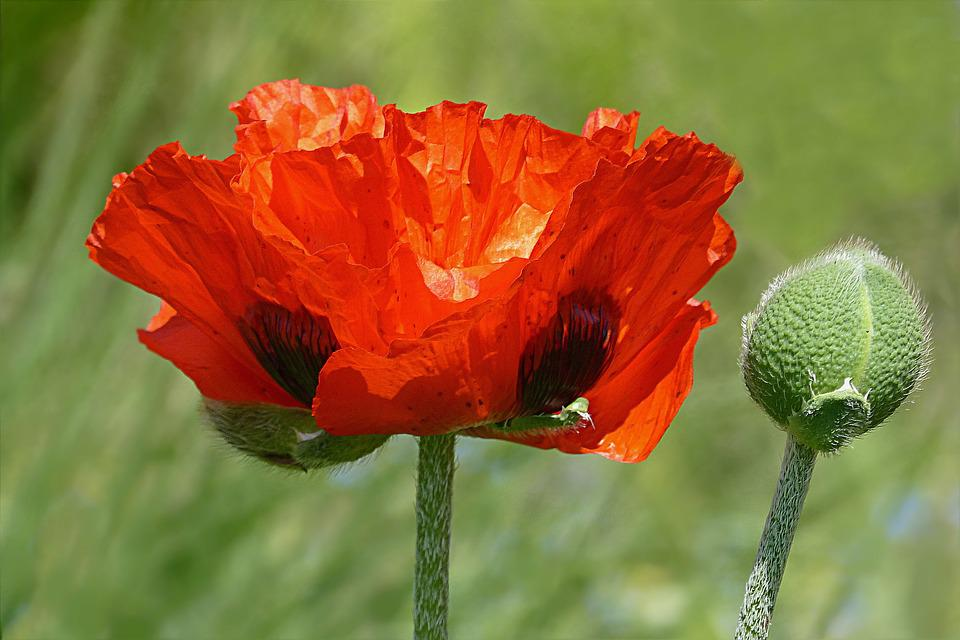 Free photo flower red poppy flower poppy papaver rhoeas max pixel flower poppy poppy flower papaver rhoeas red mightylinksfo Image collections
