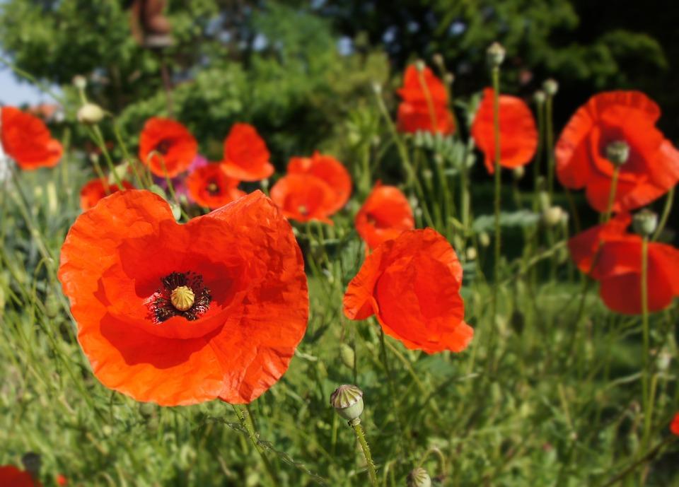 Poppy, Flower, Red, Garden, Plant
