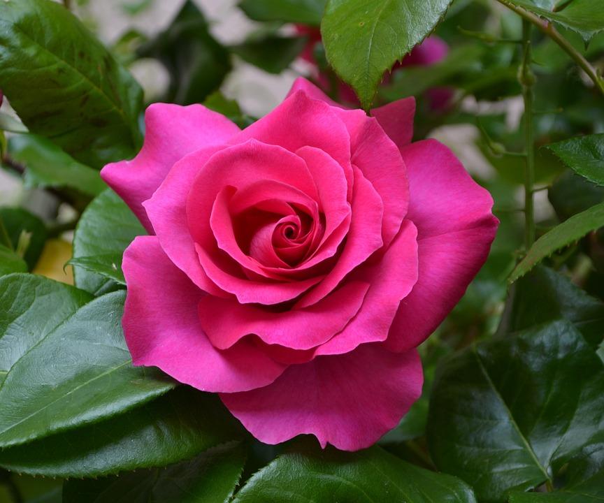 Flower, Rosa, Flowers, Roses, Red Rose, Pink, Garden