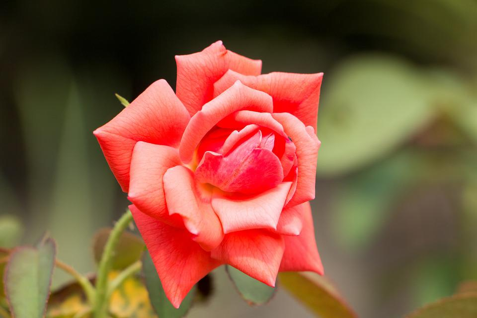 Red Rose, Rose, Flower