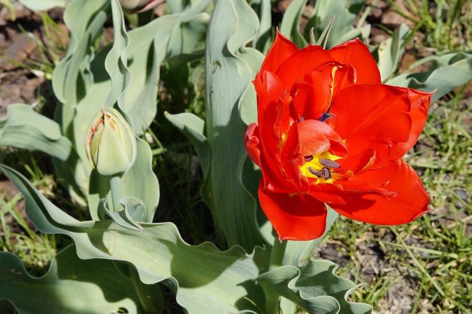 Tulip, Red, Bloom, Flower, Spring, Nature, Blossom