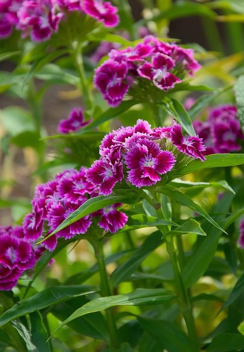 Stechnelken, Flower, Red White, Carnation, Garden