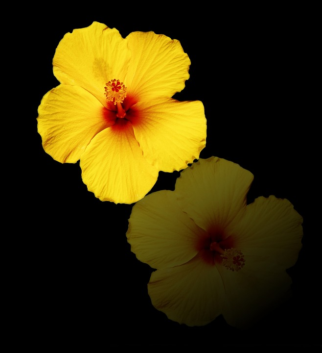 Flower, Reflection, Floral, Petal, Flora, Hibiscus