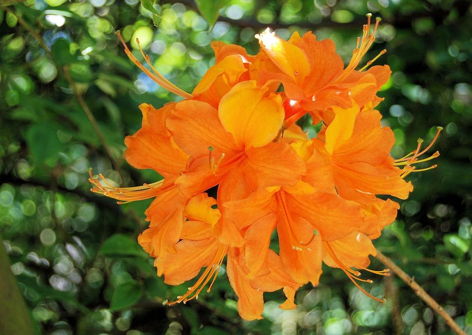 Azalea, Orange, Flower, Floral, Rhododendron, Close-up