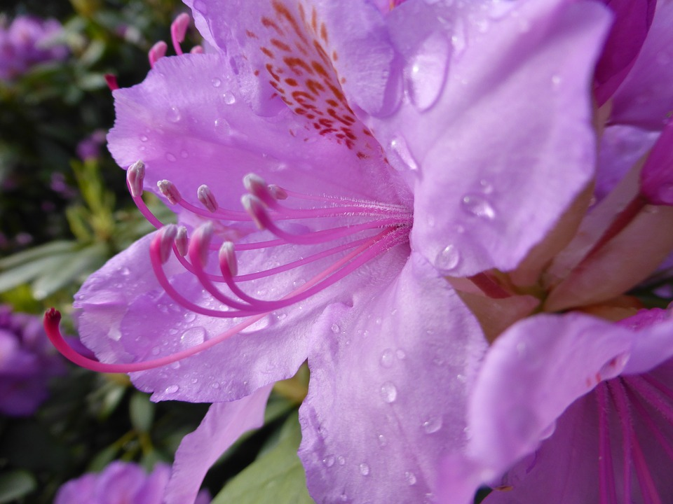 Rhododendron, Blossom, Bloom, Flower, Plant, Blossoms
