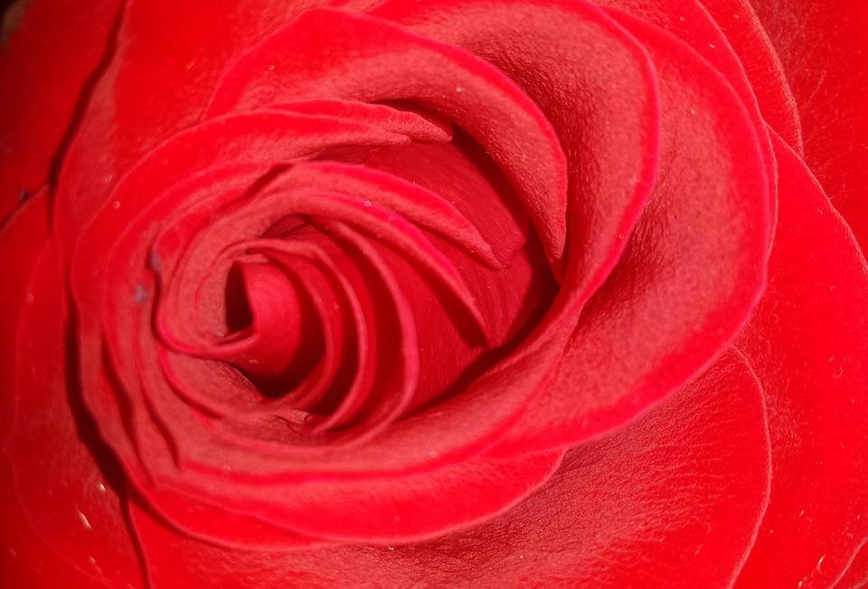 Red Rose, Rose, Red, Flower, Love, Romance, Romantic