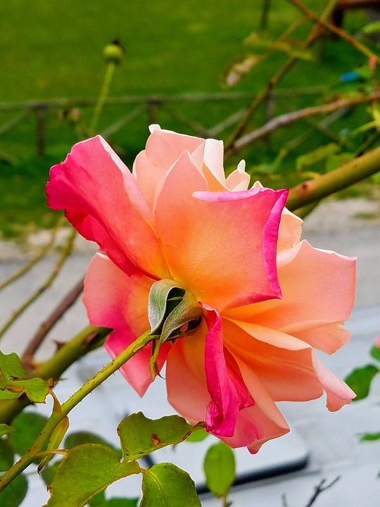 Rose, Pink Rose, Flower, Bloom, Nature, Pink, Romance