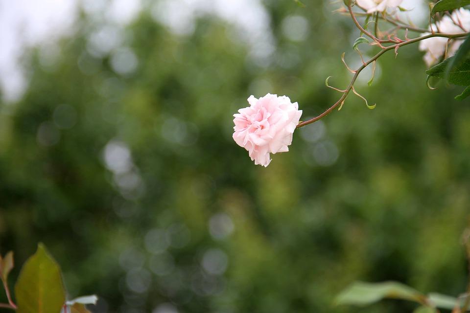 Rosa, Flower, Garden