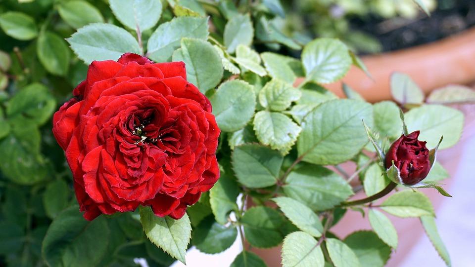 Flower, Rosa, Red Rose, Nature, Flowers, Garden
