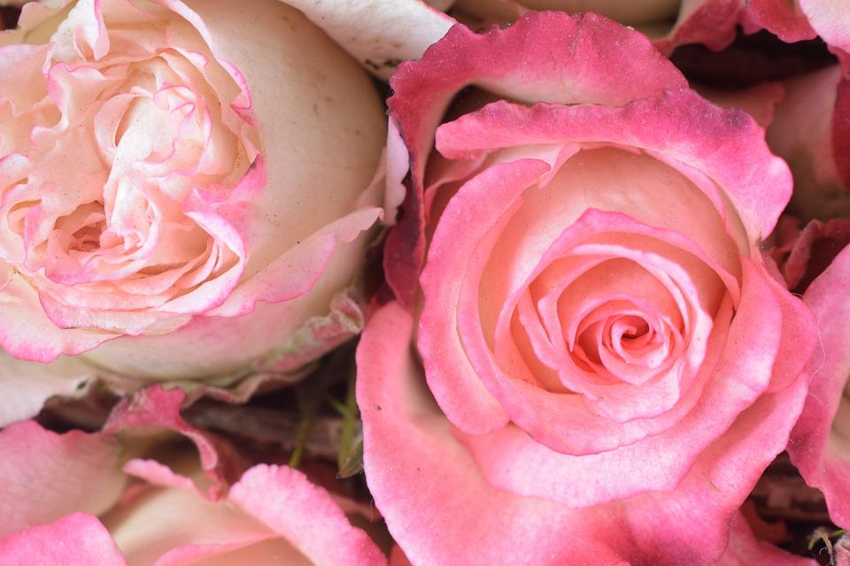 Rosa, Flower, Petal, Floral, Love
