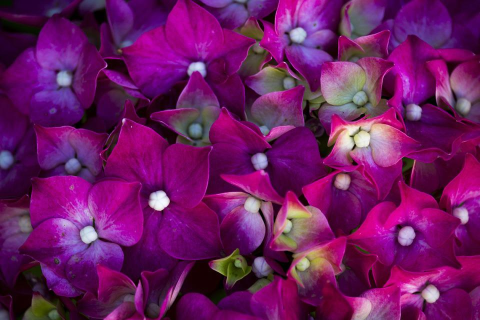 Flower, Flowers, Rosa, Violet, Flowers Dew