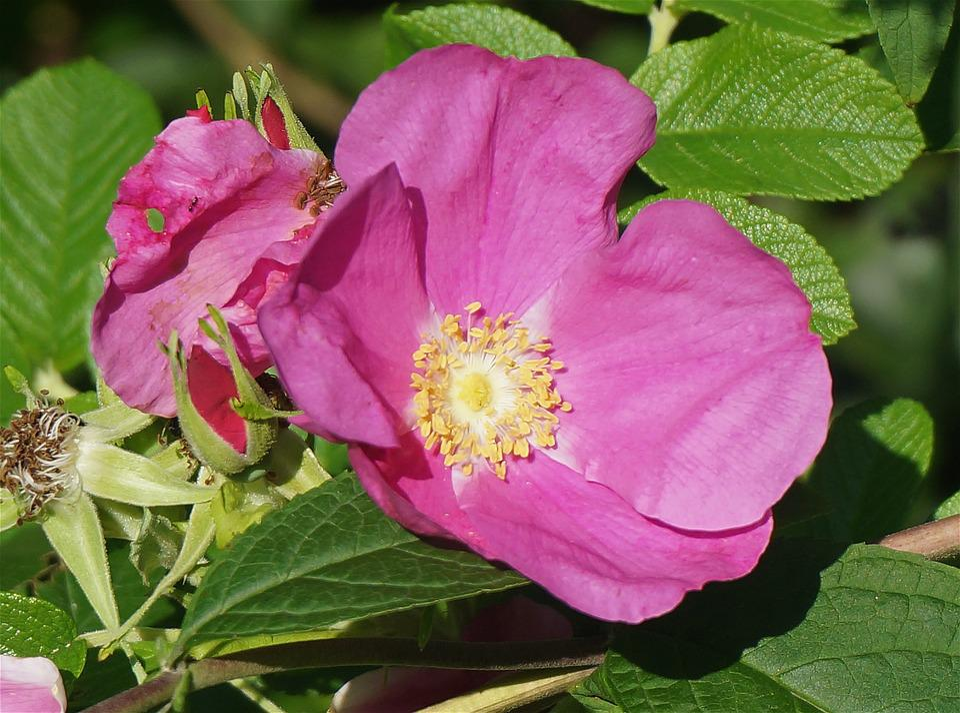Rugosa Rose, Rose, Pink, Leaves, Flower, Blossom, Bloom