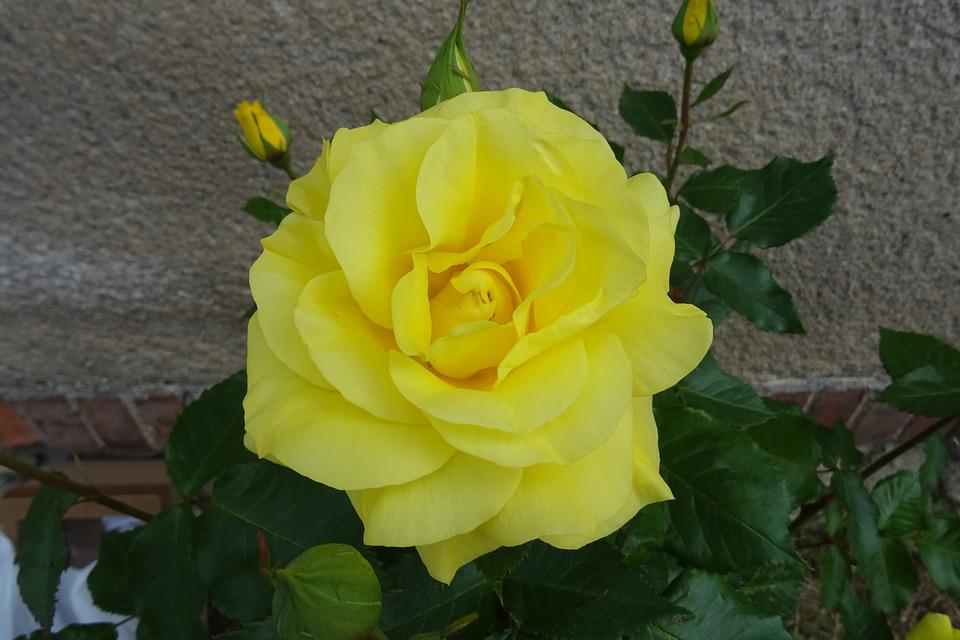 Rose, Flower, Rose Flower, Plant, Romantic, Beauty
