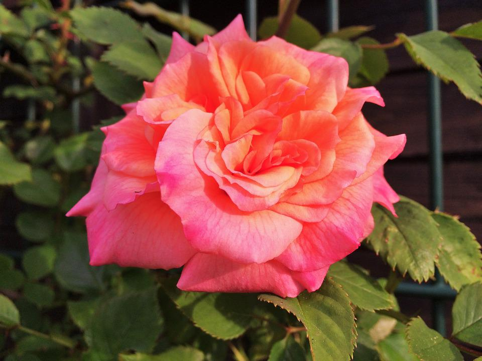 Rose, Nature, Flower, Rose Blooms, Pink Rose, Garden