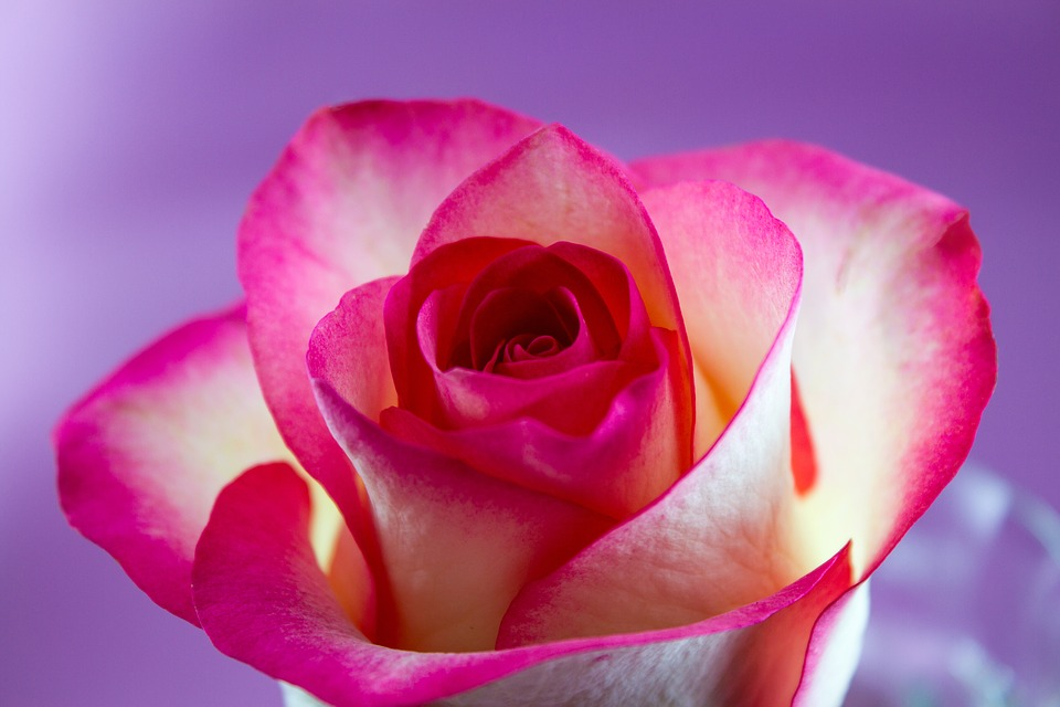 Flower, Rose, Love, Floral, Flowers, White, Pink