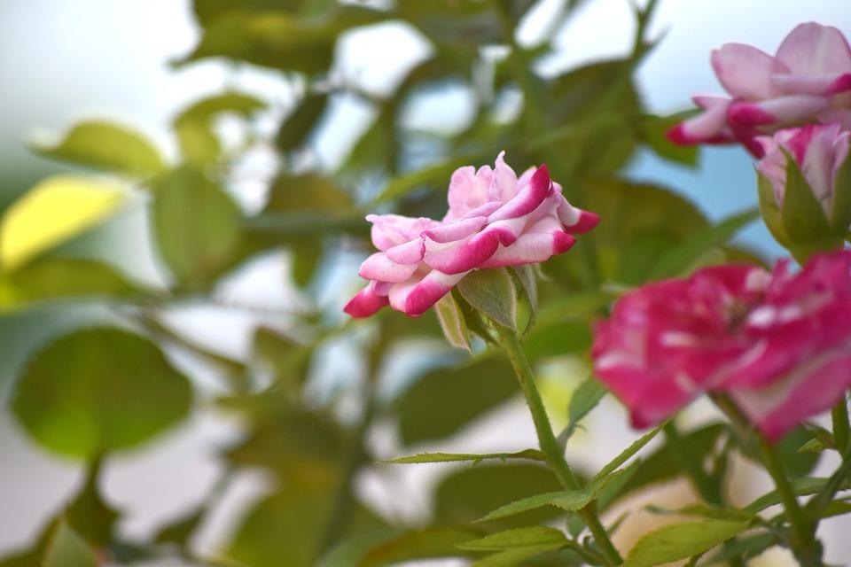 Rose, Flower, Nature
