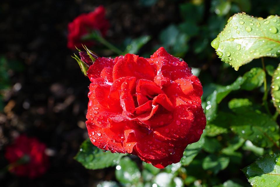 Rose, Flower, Nature, Plant
