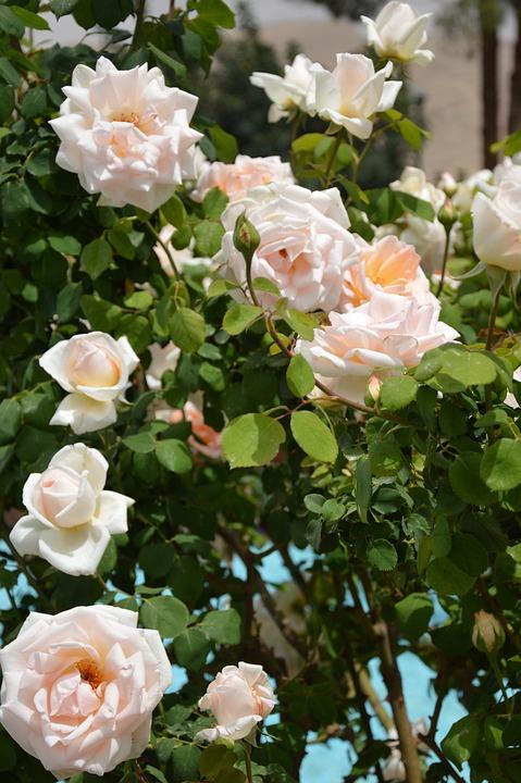 Flower, Rose, Plant, Nature, Petal