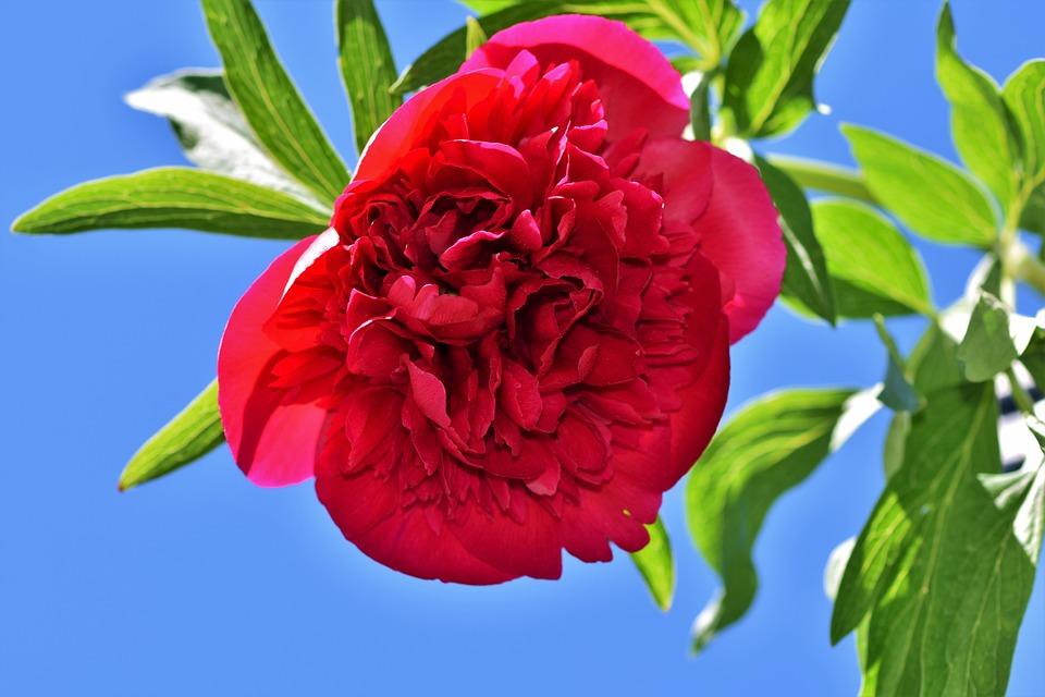 Peony, Rose, Pentecost, Blossom, Bloom, Flower, Nature