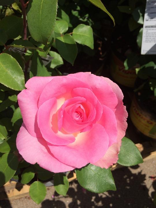Pink, Flower, Rose