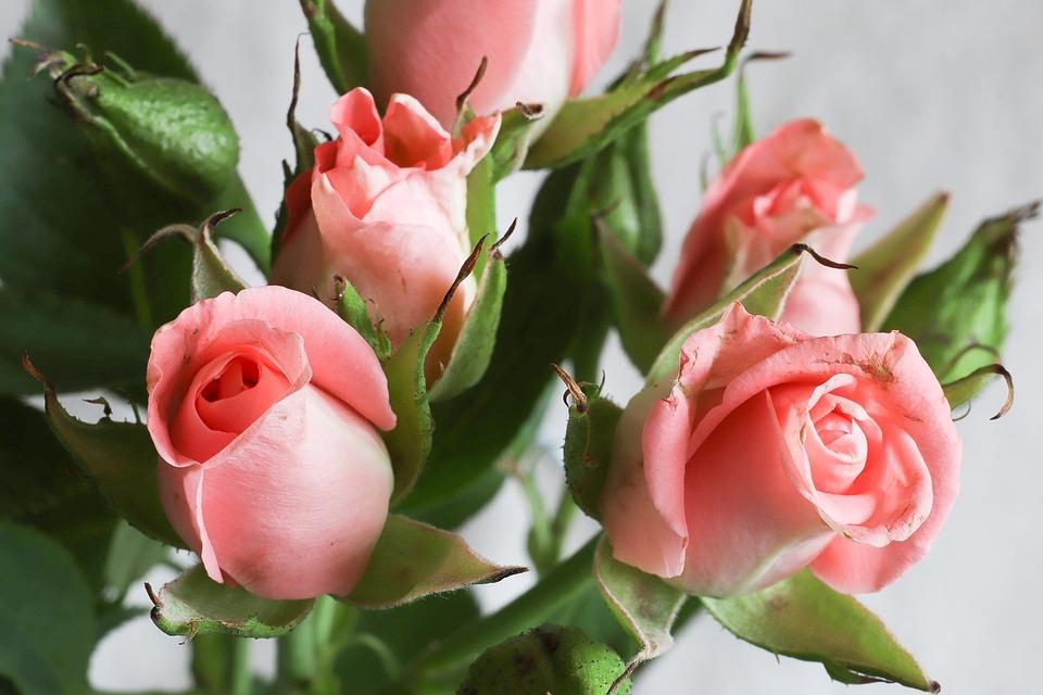 Rose, Flower, Plant