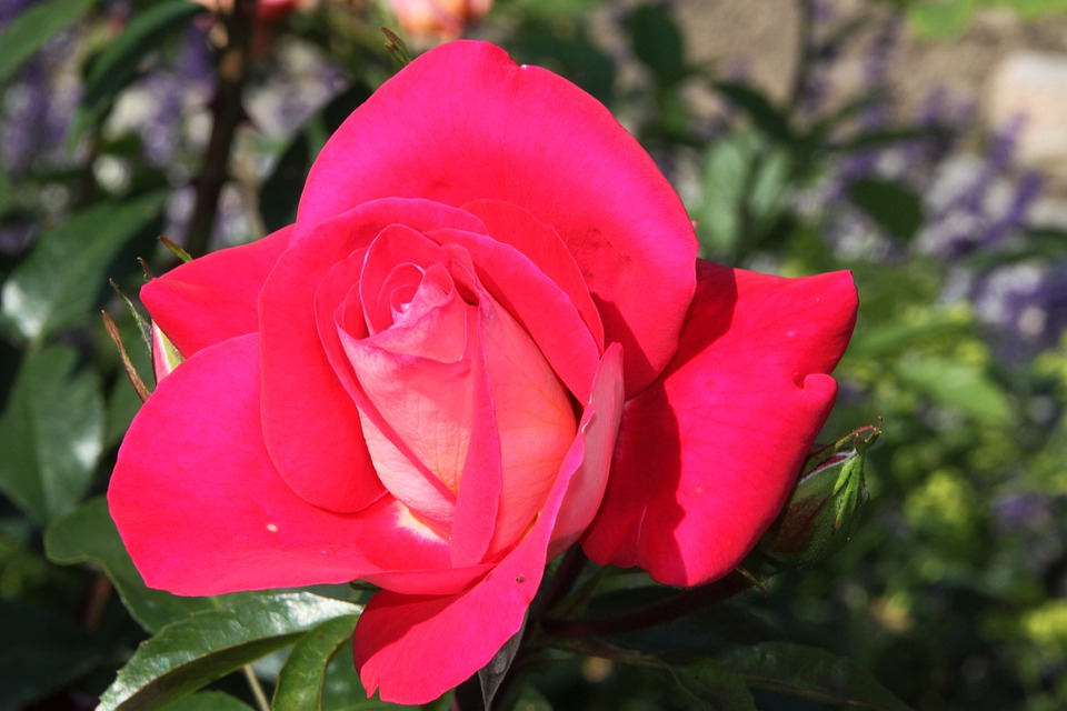 Rose, Rose Blooms, Red Rose, Nature, Flower