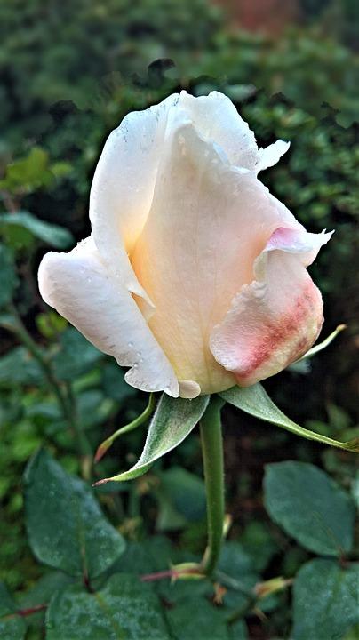 Flower, Rose, Single Bloom, Rosebush, Garden, Knospig