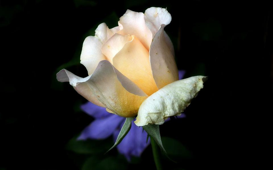 Flower, Rose, Tea, Nature, Plant, Summer, Petal