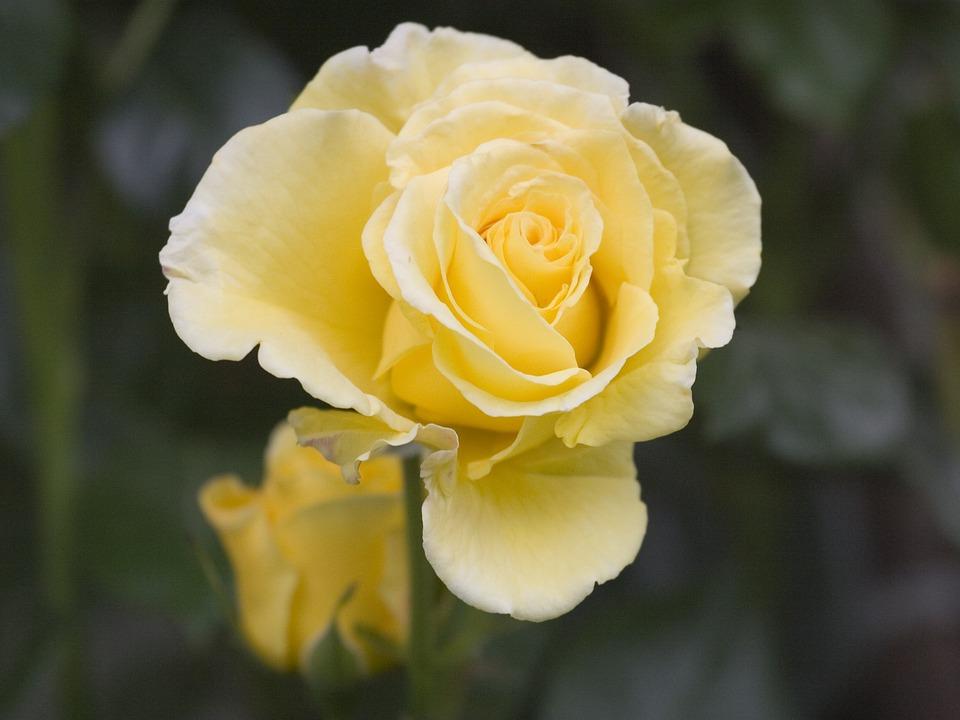 Rose, Yellow, Flower