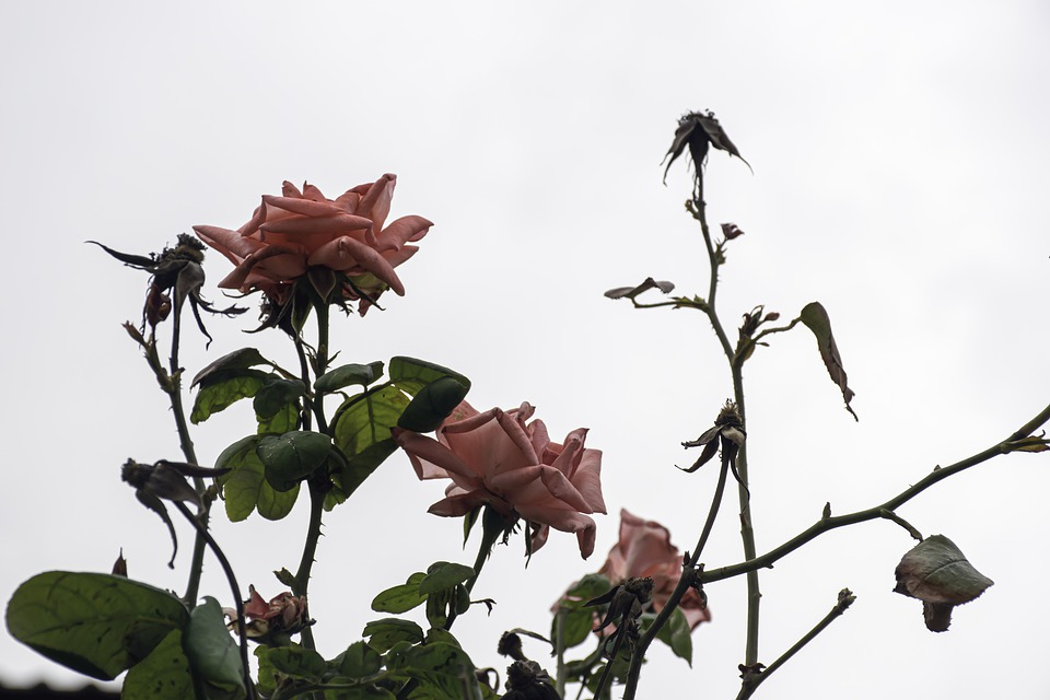 Roses, Flower, Autumn, Pink, Floral, Withered, Faded