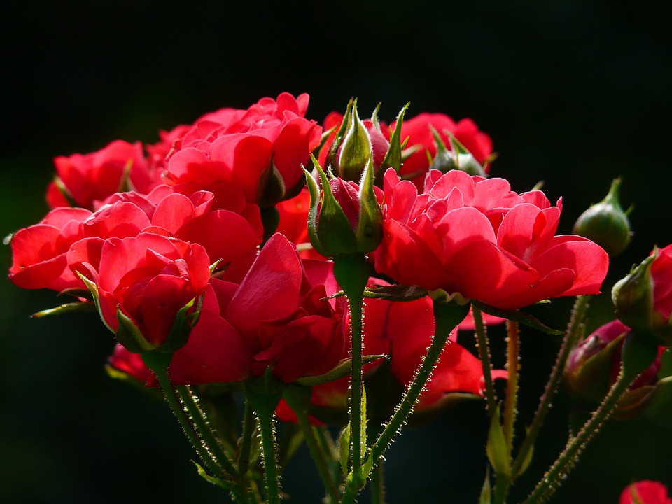 Red Roses, Rose, Roses, Backlighting, Flower, Blossom