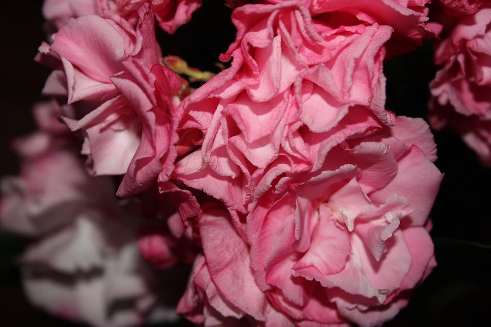 Flower, Rosa, Rough