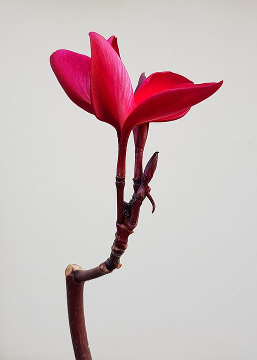 Plumeria, Flower, Rubra, Frangipani, Red, Petal