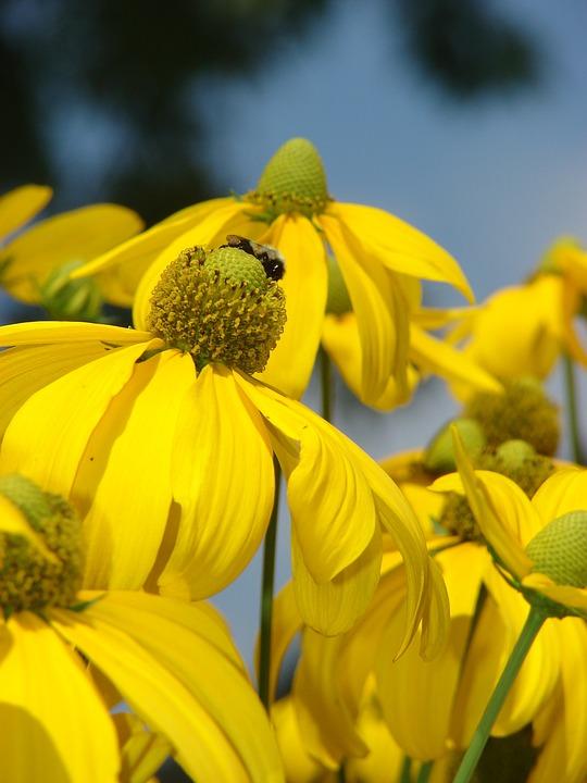Rudbeckia, Herbstonne, Yellow, Flower, Bloom, Petal
