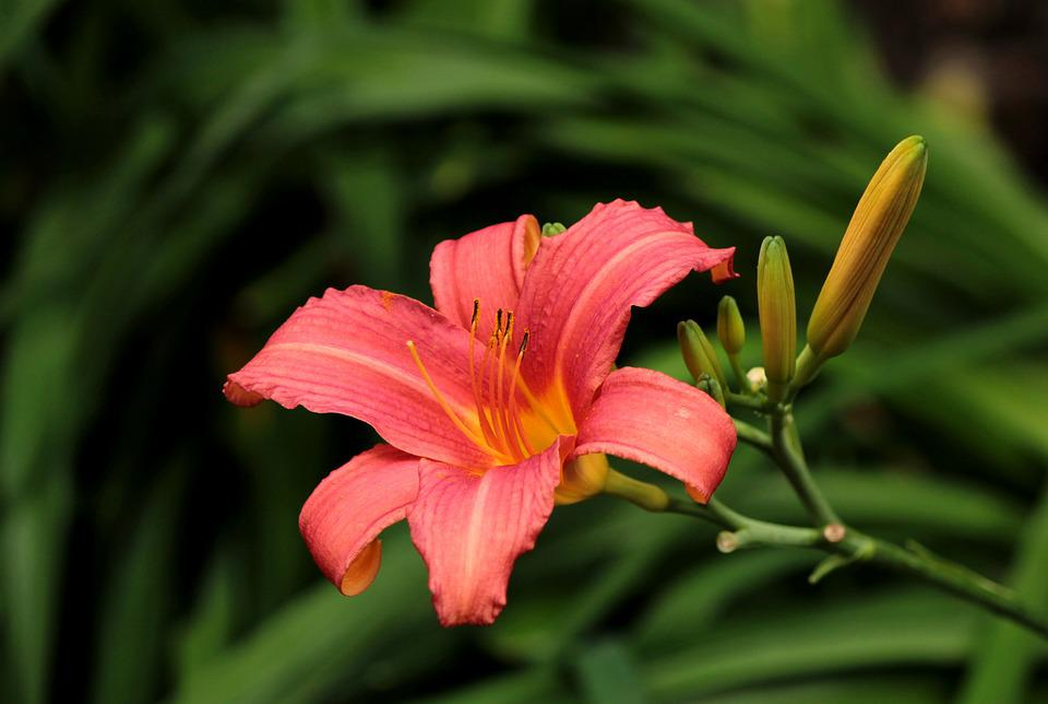 Hemerocallis, Flower, Garden, Salmon Pink, Daylily
