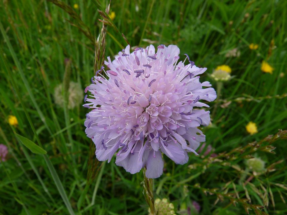 Scabiosa, Flower, Close, Plant, Blossom, Bloom