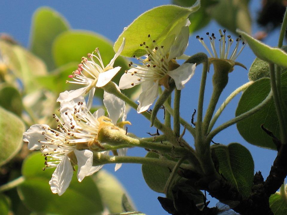 Pear Blossom, Flower, Garden, Tree, Blooming, Season