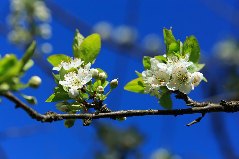 Prunus, Tree, Flower, Spring, Nature, Plant, Sky
