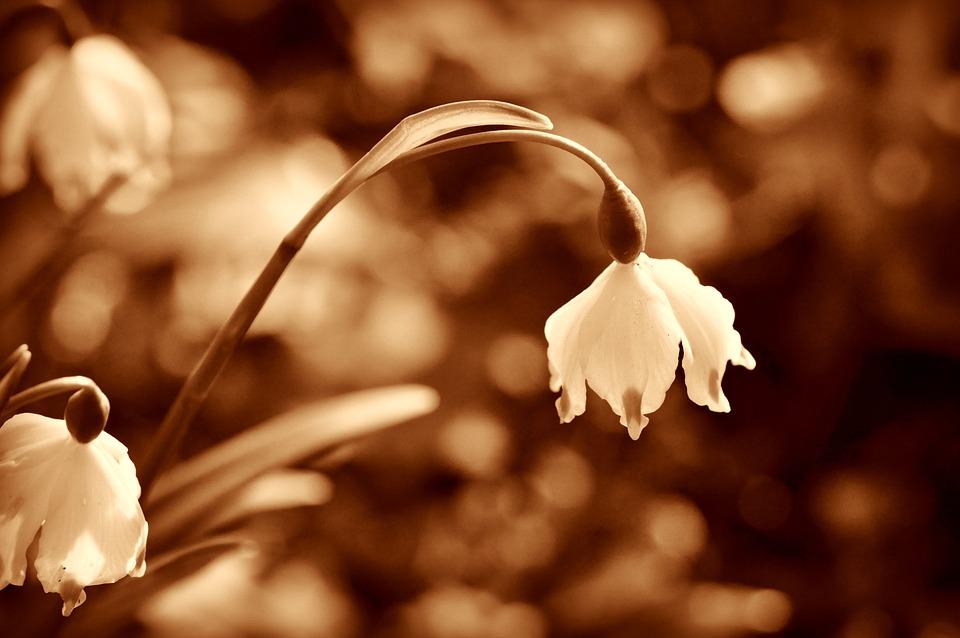 Snowdrop, Flower, Winter Flower, Herald Of Spring