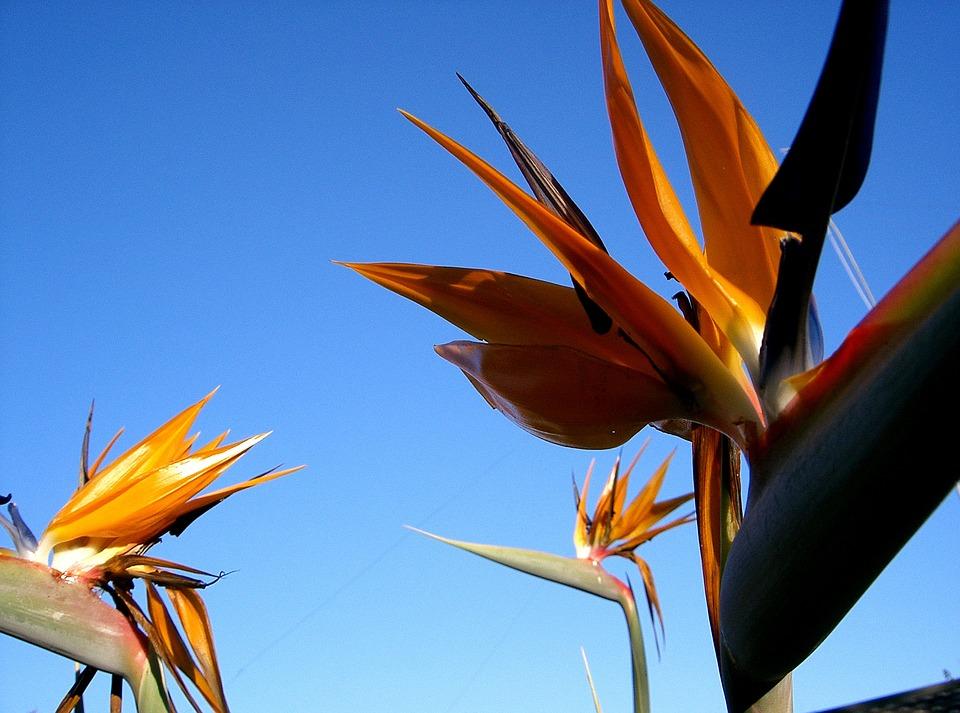Bird-of-paradise, Flower, South Africa, Strelitzia