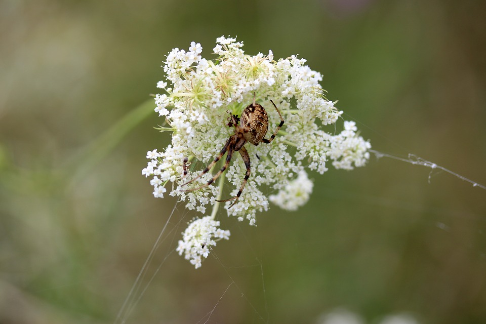 Free photo flower spider arachnid white max pixel spider flower white arachnid mightylinksfo