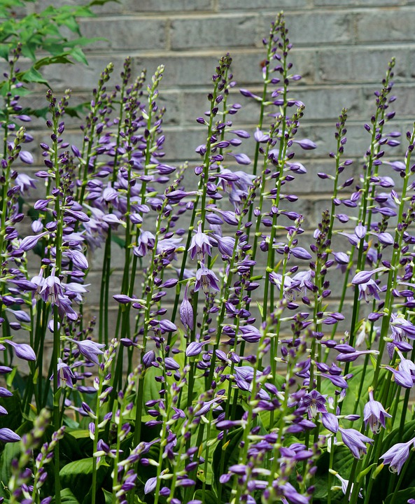 Hostas, Hosta Flowers, Purple Blossoms, Flower Spikes