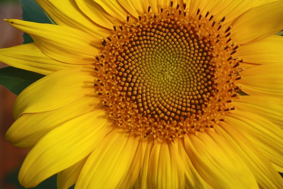 Sunflower, Yellow, Spiral, Plant, Nature, Flower