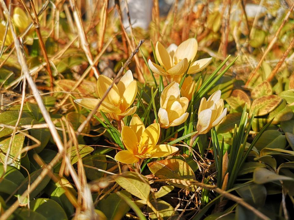 Crocus, Spring, Flower, Spring Awakening, Sun, March