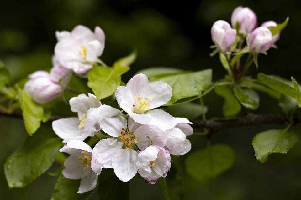 Apple Blossom, Flower, Tree, Spring, Bloom, Blossom