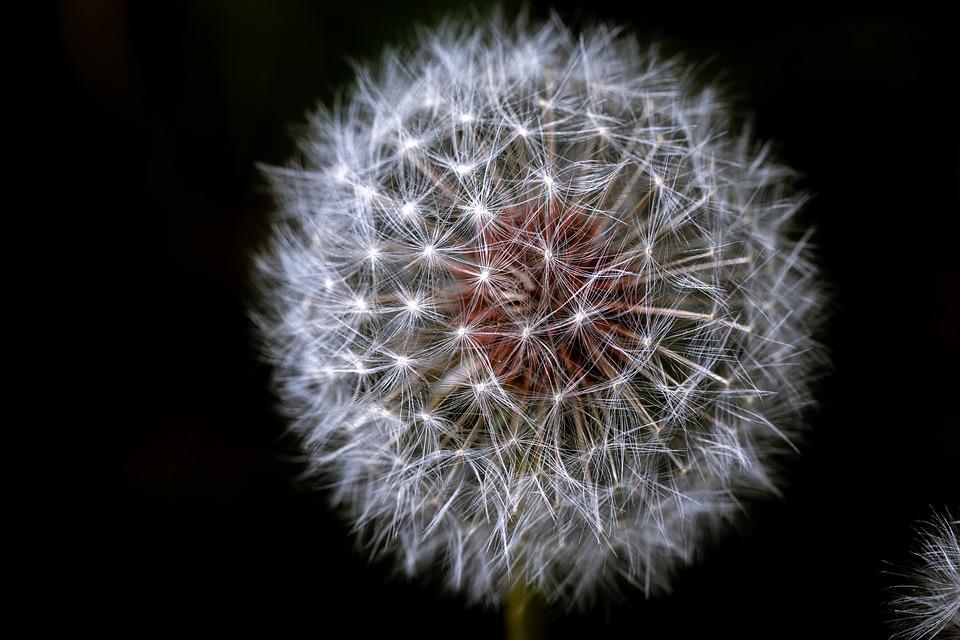 Dandelion, Flower, Blooming, Spring, Meadow, Blossom